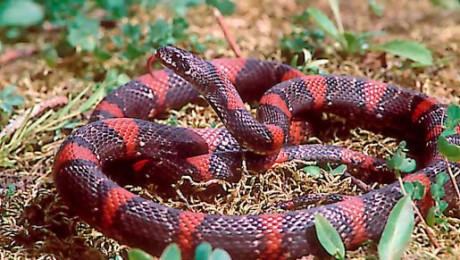 Lampropeltis mexicana